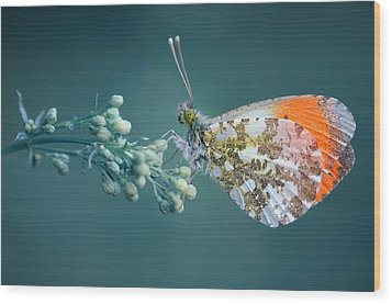 Butterfly On Blue Background Wood Print by GilG Photographie