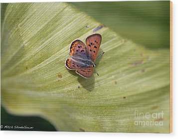 Wood Print featuring the photograph Butterfly On Cornflower Leaf by Mitch Shindelbower