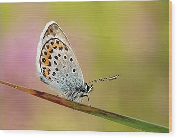 Butterfly Wood Print by Stefady