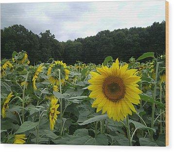 Buttonwoods Sunflowers Wood Print by Jason Sawicki