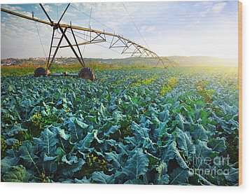 Cabbage Growth Wood Print by Carlos Caetano