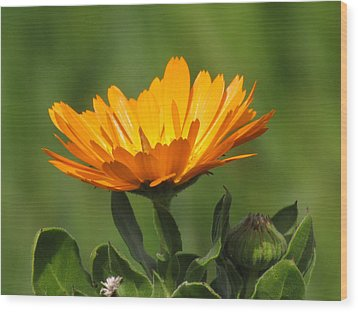 Calendula Bloom Wood Print by Bonnie Muir