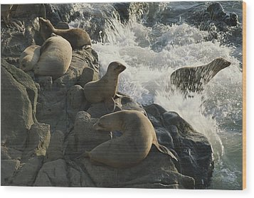 California Sea Lions Bask On San Miguel Wood Print by James A. Sugar