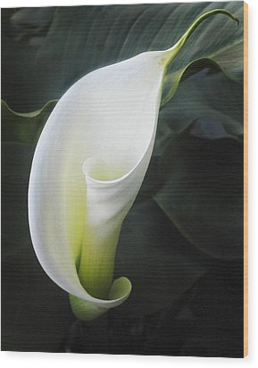 Calla Lily Wood Print by Joe  Palermo
