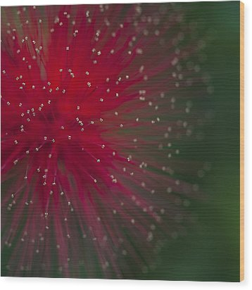 Calliandra II Wood Print