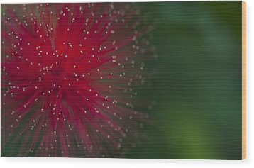 Calliandra Wood Print
