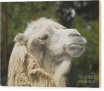Camel Portrait Wood Print by Odon Czintos