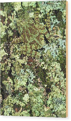 Camouflaged Vietnamese Mossy Tree Frog Wood Print by John Pitcher