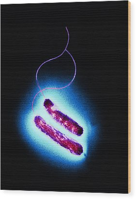Campylobacter Oral Bacteria, Tem Wood Print by Hazel Appleton, Centre For Infectionshealth Protection Agency