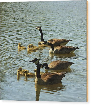 Canada Geese Families Wood Print by Mark Codington