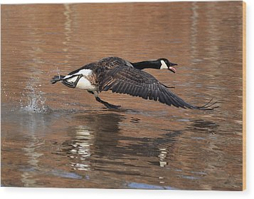 Canada Goose Above Pond - C0174d Wood Print by Paul Lyndon Phillips