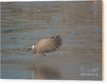 Wood Print featuring the photograph Canada Goose In Flight by Mark McReynolds