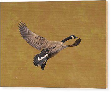 Canada Goose In Landing Approach  - C4557b Wood Print by Paul Lyndon Phillips