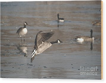 Wood Print featuring the photograph Canada Goose In Mid-flight by Mark McReynolds