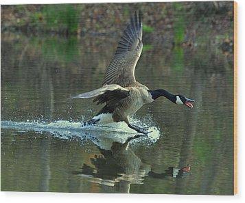 Canada Goose Power Landing - C8139h Wood Print by Paul Lyndon Phillips
