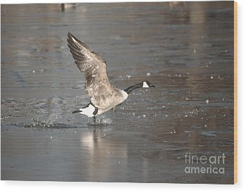 Wood Print featuring the photograph Canada Goose Taking Off by Mark McReynolds