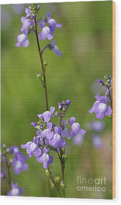 Canada Toadflax Wood Print by Don Youngclaus