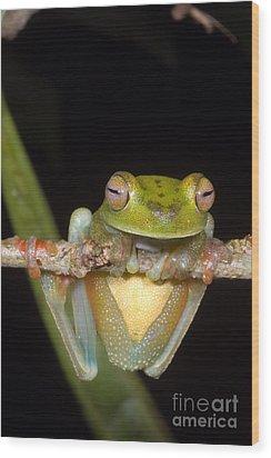 Canal Zone Tree Frog Wood Print by Dante Fenolio