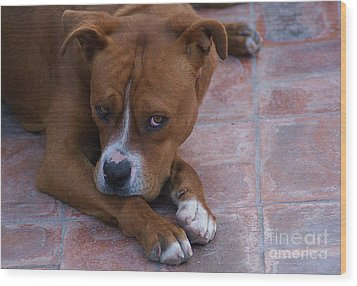 Wood Print featuring the photograph Canelo With His Look by John  Kolenberg