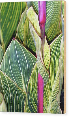 Canna Lily Foliage Wood Print by Dr Keith Wheeler