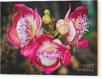 Cannonball Tree In Bloom  Wood Print by Melle Varoy