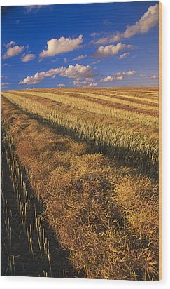 Canola Field, Tiger Hills, Manitoba Wood Print by Dave Reede