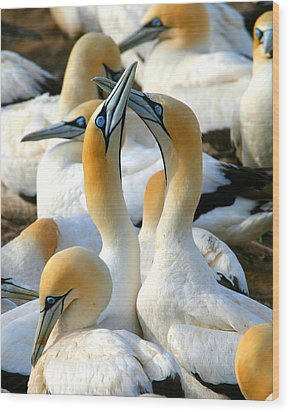 Cape Gannet Courtship Wood Print