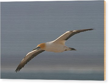 Cape Gannet In Flight Wood Print by Bruce J Robinson