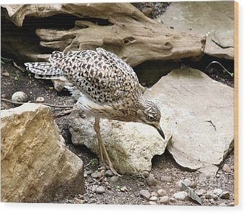 Cape Thick Knee Wood Print