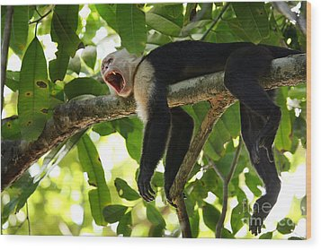Capuchin Monkey Wood Print by Matt Tilghman