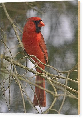Cardinal In Spruce Wood Print by Ann Bridges