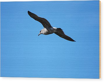 Carmel Bird In Flight Wood Print by Harvey Barrison