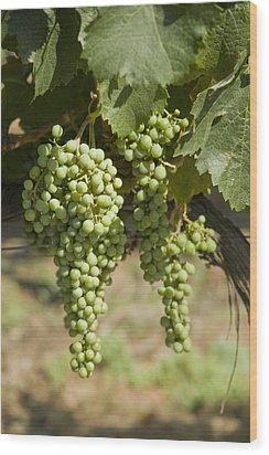 Casa Blanca Valley, Wine Growing Region Wood Print by Richard Nowitz