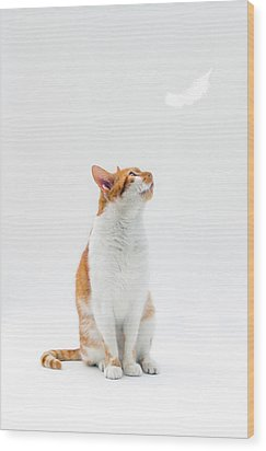 Cat Looking Up Towards Falling White Feather Wood Print by Image by Catherine MacBride
