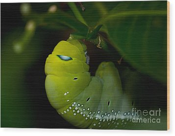 Caterpillar  Wood Print by Venura Herath