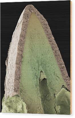 Cat's Tooth, Sem Wood Print by Steve Gschmeissner