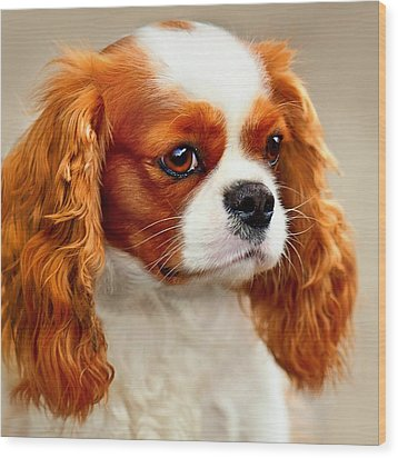 Cavalier Spaniel  Wood Print by Dorothy Walker