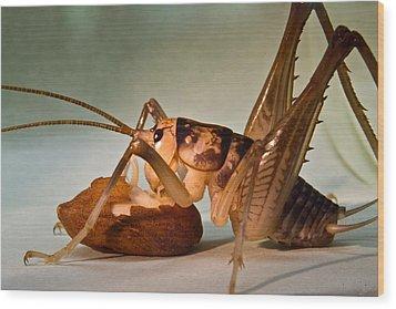 Cave Cricket Feeding On Almond 10 Wood Print by Douglas Barnett