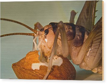 Cave Cricket Feeding On Almond 16 Wood Print by Douglas Barnett
