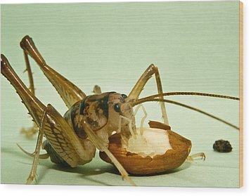 Cave Cricket Feeding On Almond 8 Wood Print by Douglas Barnett