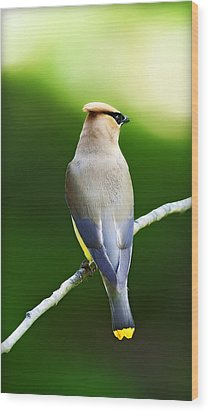 Cedar Wax Wing Wood Print