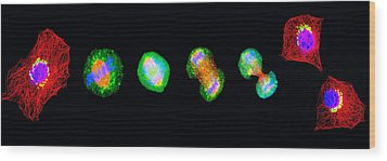 Cell Mitosis Wood Print by Thomas Deerinck, Ncmir