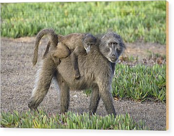 Chacma Baboon Mother And Young Wood Print by Peter Chadwick