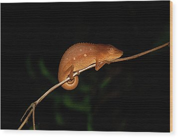Chameleon At Night In Andasibe Wood Print by Tom McShane