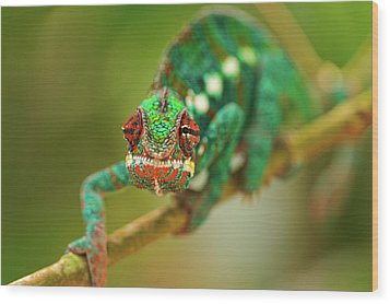 Chameleon Wood Print by Picture by Tambako the Jaguar
