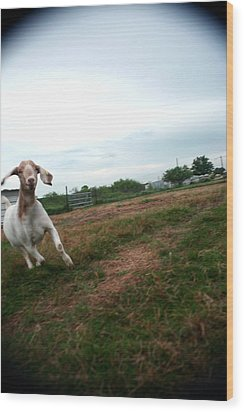 Wood Print featuring the photograph Chased By A Crazy Goat by Lon Casler Bixby