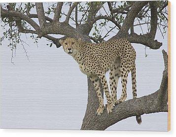 Cheetah Acinonyx Jubatus Female Wood Print by Suzi Eszterhas