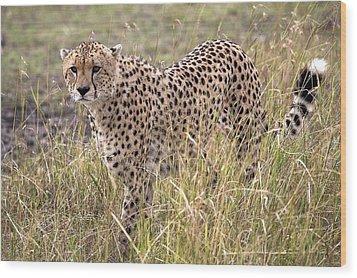Cheetah Acinonyx Jubatus, Masai Mara Wood Print by Chris Upton