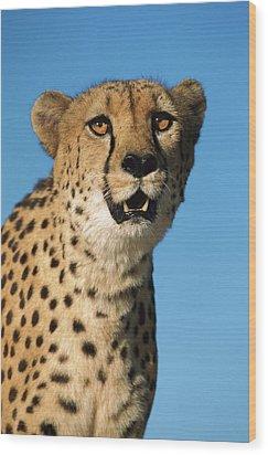 Cheetah Acinonyx Jubatus Portrait Wood Print by Ingo Arndt