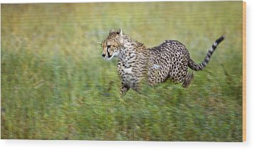 Cheetah Acinonyx Jubatus, Running Wood Print by Carson Ganci